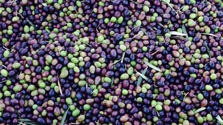 Stancija San Antonio - šampioni ekstra djevičanskog maslinovog ulja