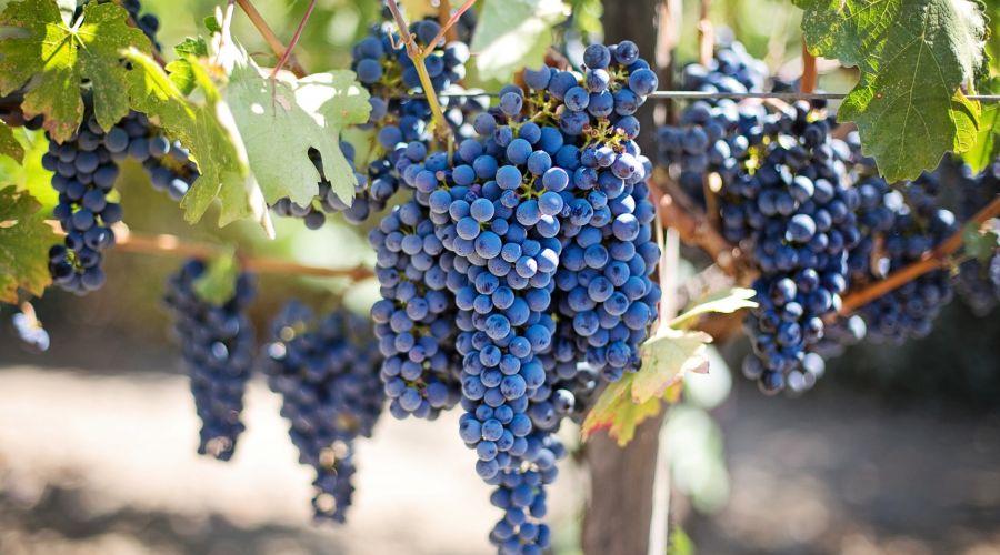 Što je crno vino i kako se dobiva?